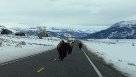 Bison come charging at an SUV in Yellowstone National Park.