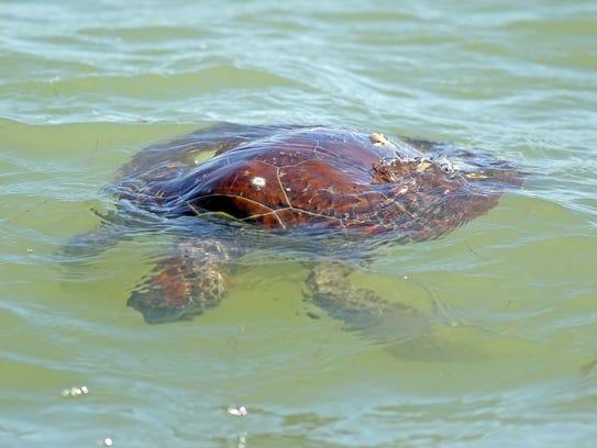 This large sea turtle appeared dead, but it was not.
