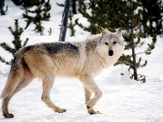 w9-29-Wyoming Wolves