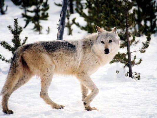 w11-26-Wolf Derby.jpg