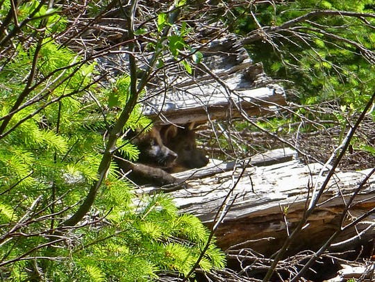 Two of wolf OR7's pups peek from a log on the Rogue