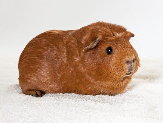 Danish, a male guinea pig. No. 94928.