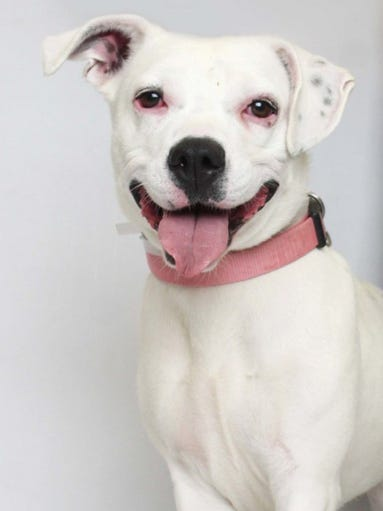 Annie is a 1-year-old Pit Bull Terrier mix. She's so much fun to play with and would be great with a high energy family who enjoys the outdoors. Annie is available at Young-Williams Animal Center, 3201 Division St. For more information, call 865-215-6599 or visit http://www.young-williams.org/.