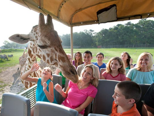 Riders get up close and personal with a giraffe at Six Flags Great Adventure?s new safari ride.
