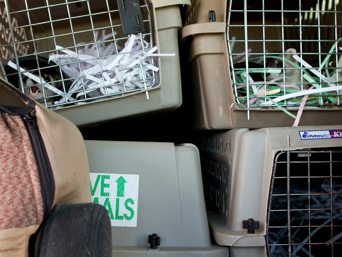 Twenty rare black-footed ferrets made their way from a captive breeding facility in Colorado to their new home near Fort Belknap.  Transport was handled by the U.S. Fish and Wildlife Service, and the ferrets travelled in the comfort of air conditioning during the long journey.