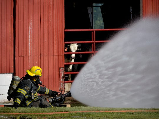 A cow peeks out from an adjacent barn as firefighters work to protect the building from a fire that destroyed another barn Monday afternoon at 10117 Stearns County Road 8 near Marty.
