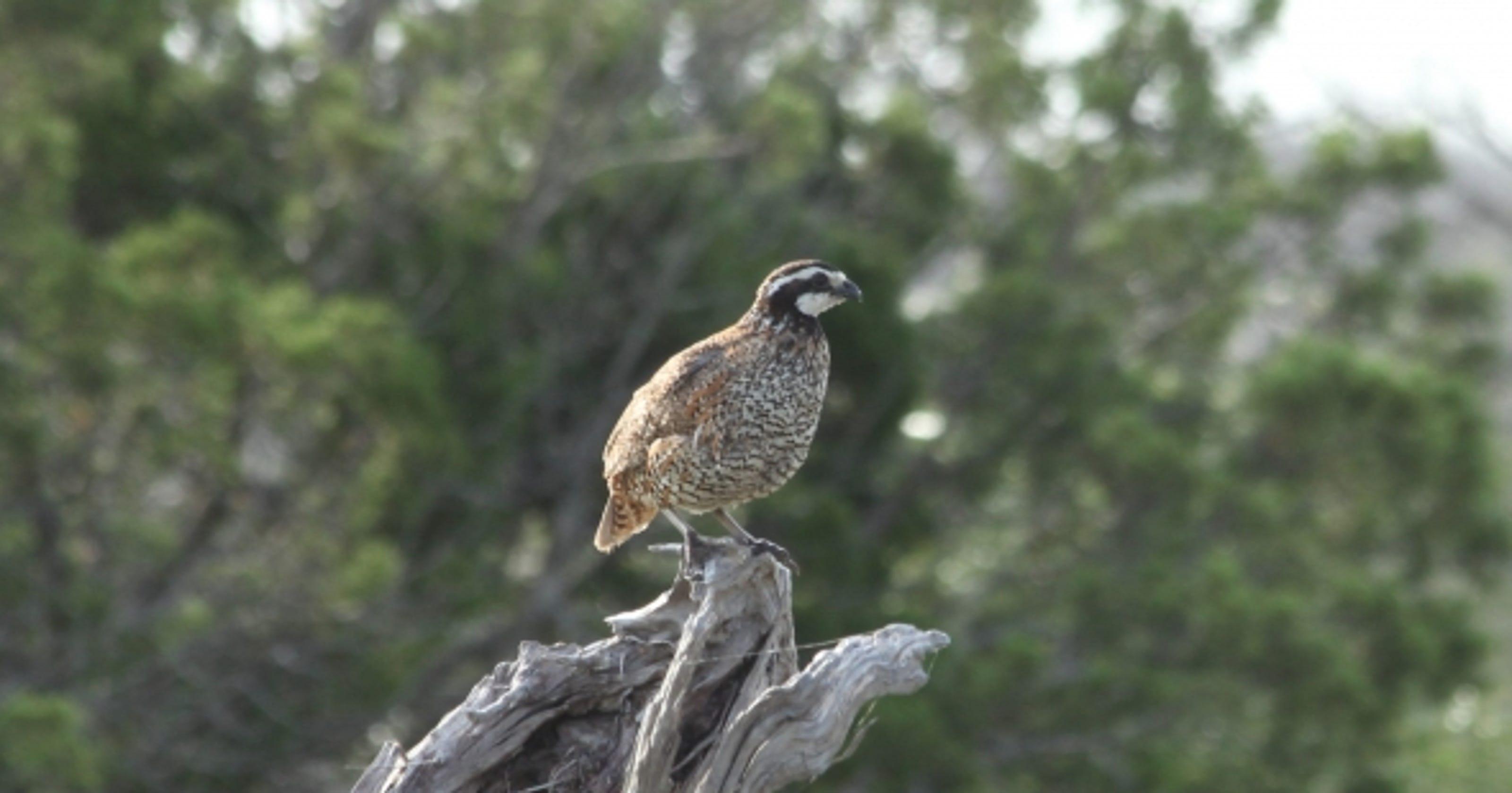 WILD ABOUT TEXAS: Bobwhite quail display explosive speed