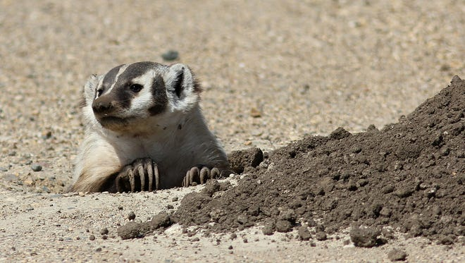 This badger was digging out gophers at Tripp Lake near Tripp. Submit your SoDakScenes photo at sodakscenes@argusleader.com.