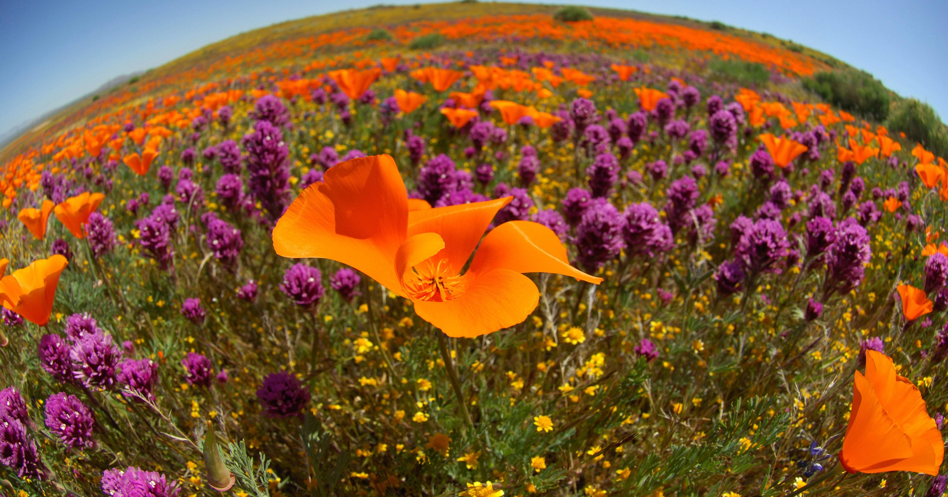california poppies are blooming all over the state here 39 s where to see them. Black Bedroom Furniture Sets. Home Design Ideas
