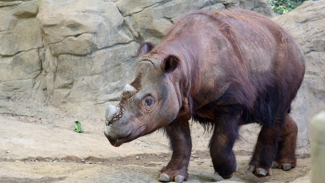 """Harapan, a Sumatran rhino enters his Wildlife Canyon at Cincinnati Zoo and Botanical Gardens Tuesday August 25, 2015. Harapan, or """"Harry"""" the only Sumatran rhino in the Western Hemisphere, one of three calves born at the Cincinnati Zoo will be moved to Indonesia, to breed at the Sumatran Rhino Sanctuary."""