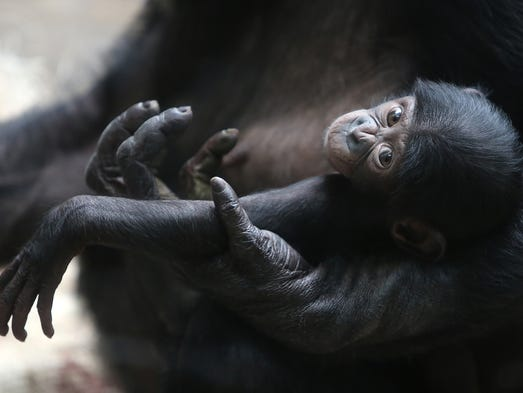 Belle, a baby Bonobo, sits with her mother, Lisa, at the Cincinnati Zoo and Botanical Gardens on Tuesday, April 29, 2014.  Lots of baby animals are currently on display at the zoo.