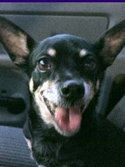 Itty Bitty is a small adult, spayed female Chihuahua.