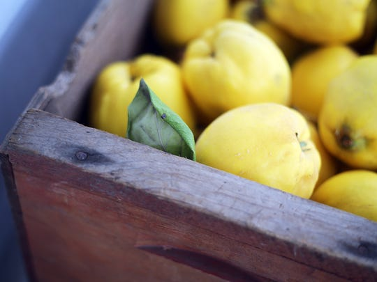 Quince are harvested in fall.