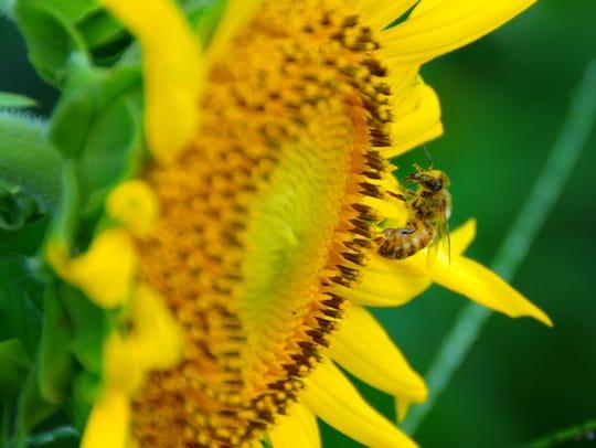 A bee on a sunflower in the maze. Sledd's U-Pick Farm