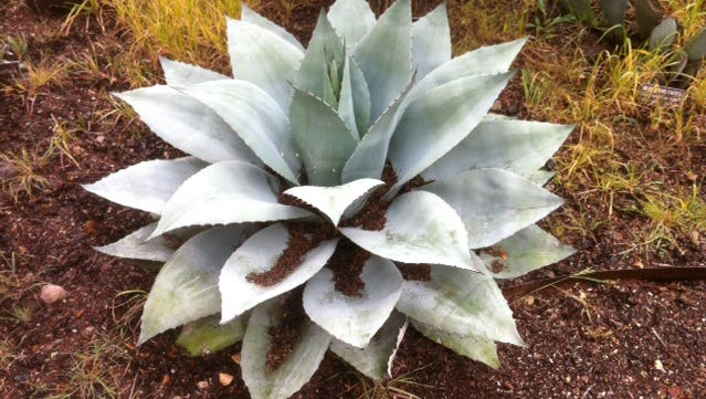 The Whale Tongue agave or Agave ovatifolia from the central highlands of Mexico.