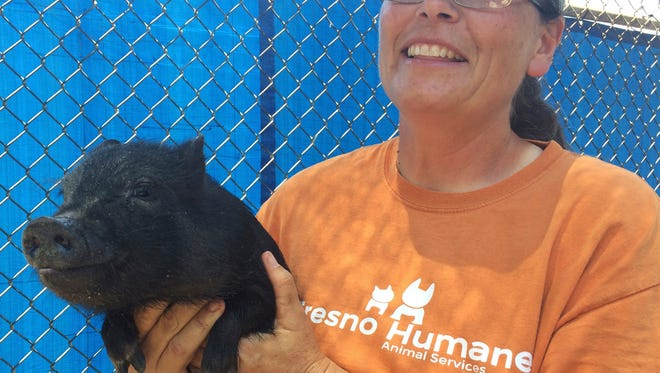In this Monday photo Tracy Crutchfield, Fresno Humane Animal Services shelter manager, holds one of three pigs found in a trailer that registered 107 degrees Fahrenheit the county found Friday in Fresno.