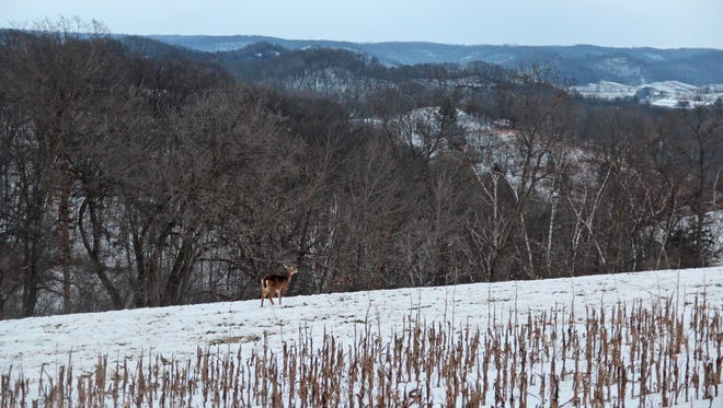 A white-tailed deer walks across a ridge near Richland Center during the holiday hunt, which is held in 13 counties in the state.