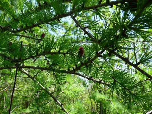 Tamarak Tree 3 (Large)