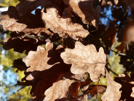 Marcescent leaves on an oak tree.JPG