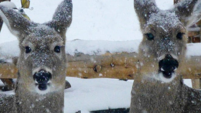 Two snow-covered white-tailed deer