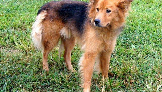 Jeff is a handsome Australian Shepherd/Chow mix looking for a new place to stay because his former family could no longer keep him. Please consider giving Jeff the security of having a family again. He's counting on you to come see him at Crittenden Co Animal Shelter.