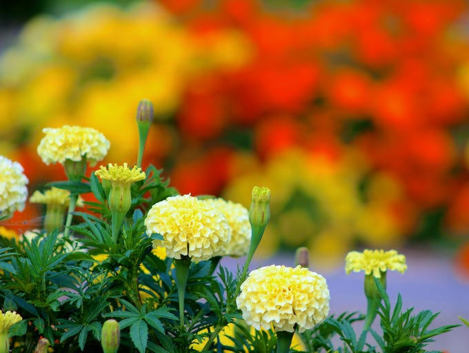 Slight bokeh effect going on here with the marigolds in the distance.