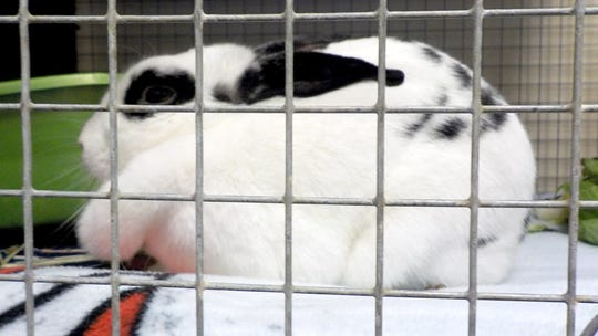 A rabbit is seen here at the York County SPCA in Manchester