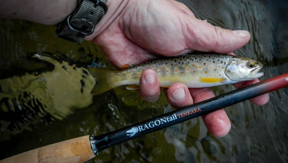 First fish on the Tenkara rod, a small, native brown