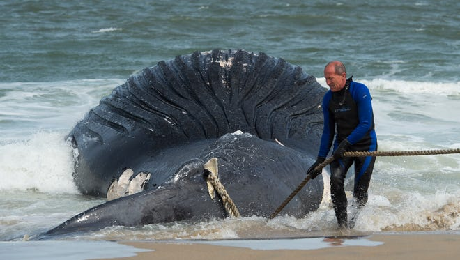 View of a deceased whale that washed up at Deauville Beach just north of Rehoboth Beach.