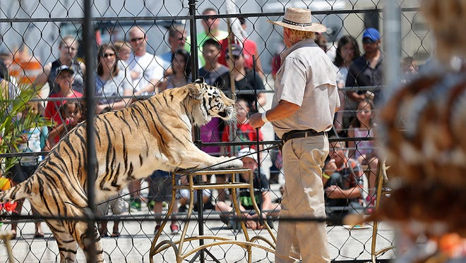 A tiger takes part in the Close Encounters of the Exotic Kind Lion and Tiger show on Thursday, July 20, 2017, at the Fond du Lac County Fair.