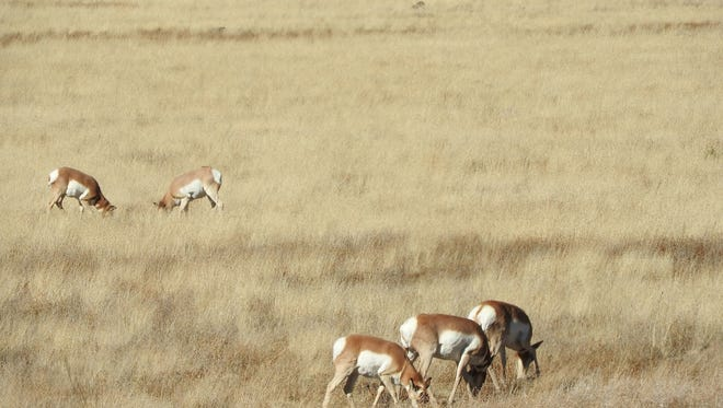 Pronghorn graze in the meadows along Arizona 260 near the town of Eagar.