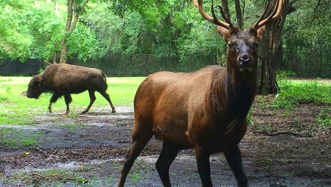 """The """"Wandering Elk"""" who made his appearance in various locations in the Upstate last year, lives with a bison herd now at Charles Towne Landing"""
