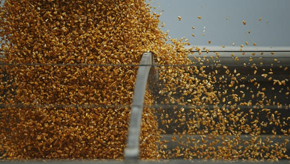 Commercial corn is harvested and transferred into a