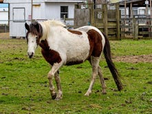 Chincoteague ponies, some from Misty bloodline, donated to Virginia herd