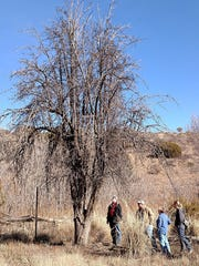 Santa Clara Village Trustee Rocky Hildebrand, from left, Master Gardener Gary Stailey, Fort Bayard Historic Society President Cecilia Bell, and NM State Forestry Tonya Vowles discover a still living pear tree at the historic Fort Bayard Orchard. This pear tree was one of the two fruit trees still alive in the century-old orchard.