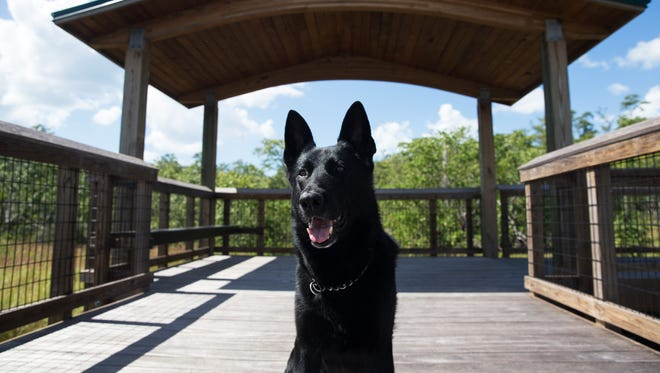 Boss, a retired CCSO K-9, sits at a park in Naples, Florida, on Monday, Oct. 17, 2016. Boss retired earlier this month after working in the Sheriff's Office for six years. He has been battling an aggressive cancer and is in remission, enjoying the rest of his time with his handler and family.