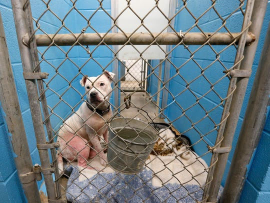 Baby, a pit bull, looks out of her kennel at Springfield