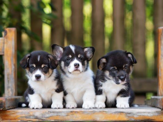 three adorable welsh corgi puppies
