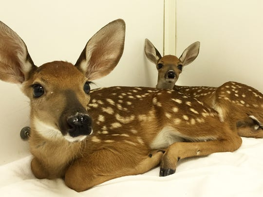 Two orphaned fawns at St. Francis Wildlife.