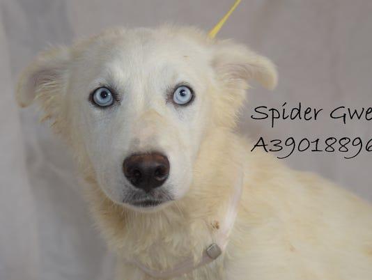 636692436472856949-A39018896-Spider-Gwen-1.JPG