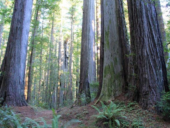 Oregon Redwoods Trail is on Oregon's South Coast, near