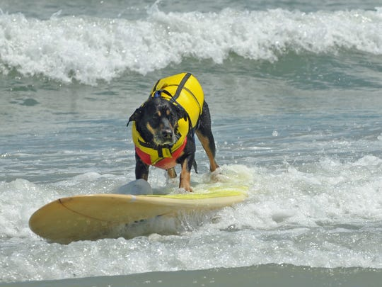 Emmett is one of the surf dogs competing this weekend.