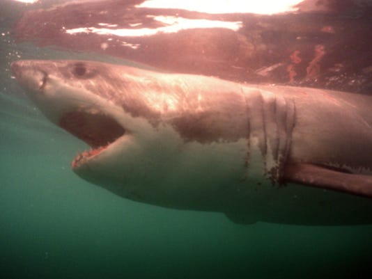 Picture dated October 1997 of a great white shark