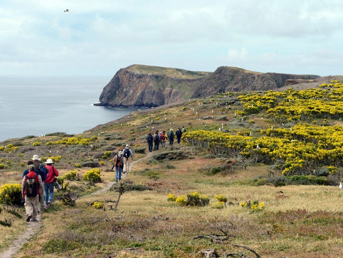 Visitors to Anacapa Island see a thick blanket of giant