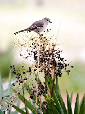 A bird stands atop a berry-covered plant outside Vermilionville Saturday, January 10, 2015, in Lafayette, La.