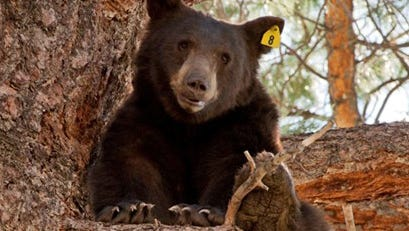 The Nevada Department of Wildlife will host a free program concerning black bears on Saturday in Reno.