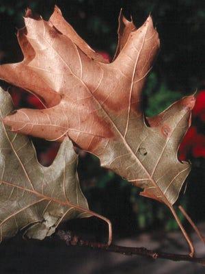 Classic symptoms of oak wilt on red oak leaves.