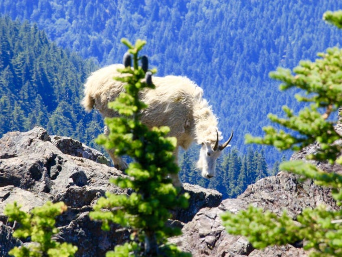 A mountain goat lurks behind trees at the Olympic National