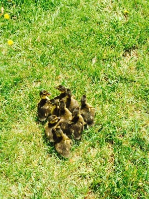 Ducklings after they were rescued from a storm sewer near the intersection of Ruggles Street and Military Road.