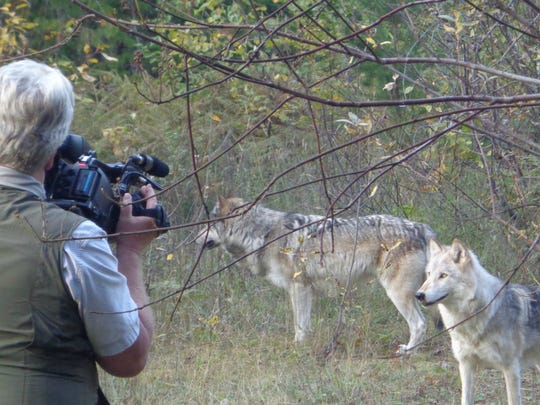 "Documentary filmmaker Clemens Schenk filmed ""OR7 - THE JOURNEY"" about Oregon's gray wolf. Salem Cinema will debut the film in Salem Tuesday, July 15, 2014 as a fundraiser for Straub Environmental Learning Center."